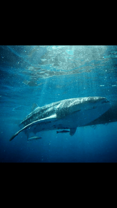 Whale shark on open water course Koh Tao