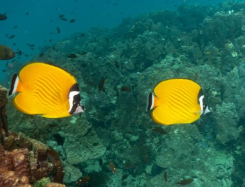 Weibeli Butterfly Fish